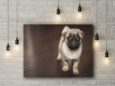 Pug Puppy. Photographic Canvas.